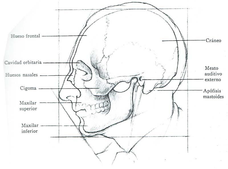 Magnífico La Anatomía Del Cráneo Para Los Artistas Fotos - Anatomía ...