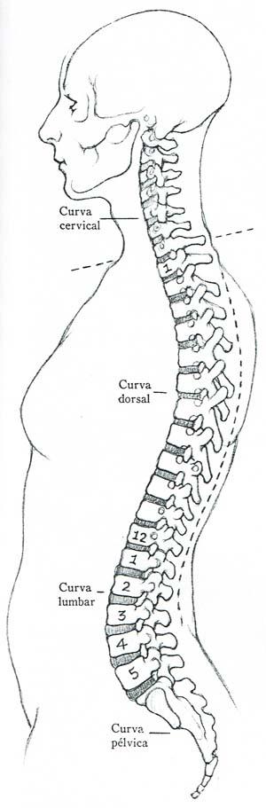 Dibujar la columna vertebral y las vértebras | Ilustradora Madrid ...